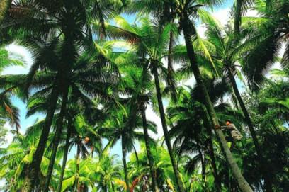 Bến Tre với những hàng dừa xanh ngát